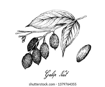 Illustration Hand Drawn Sketch of Canarium Indicum, Galip Nuts or Pacific Almonds on A Tree, Good Source of Dietary Fiber, Vitamins and Minerals.