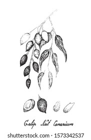 Illustration Hand Drawn Sketch of Canarium Indicum, Galip Nuts or Pacific Almonds, Good Source of Dietary Fiber, Vitamins and Minerals.