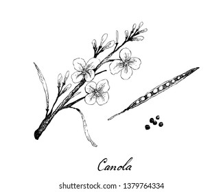 Illustration of Hand Drawn Sketch Canola Flowers, Pod and Seeds, Source of Vegetable Oil and Protein Meal in The World.