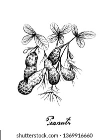 Illustration of Hand Drawn Sketch Fresh Peanuts or Groundnut with Groundnut Plants With Groundnuts And Roots, Good Source of Dietary Fiber, Vitamins and Minerals.
