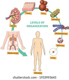 Illustration of the hierarchy of biological levels of organization - from atom to the organism.