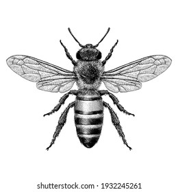 Illustration of a Honey Bee in a vintage style