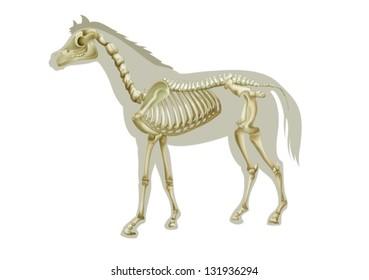 Illustration of a horse skeleton - side view