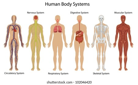 Illustration of the human body systems