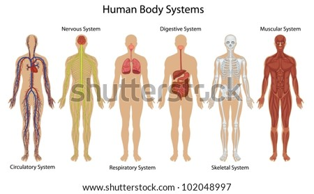 Illustration Human Body Systems Stock Vector Royalty Free
