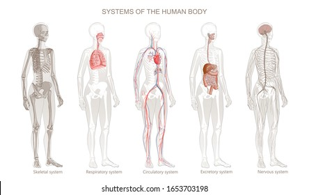 Illustration of Human Body Systems: Circulatory, Skeletal, Nervous, Digestive, Integumentary, Exocrine, Respiratory systems. Full-length isolated image of standing woman on white background.