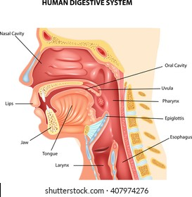 pharynx images, stock photos \u0026 vectors shutterstock Diagram of Maxillary Sinuses