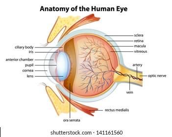 Illustration of the human eye anatomy