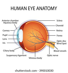 Illustration of the human eye anatomy on the white background.