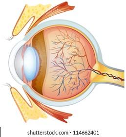 Illustration of a human eye cross section