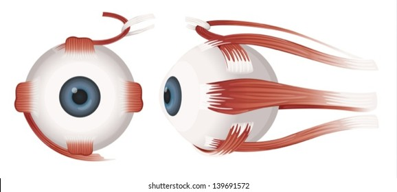 Illustration of a Human eye on a white background