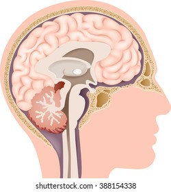 Pituitary gland images stock photos vectors shutterstock illustration of human internal brain anatomy ccuart Image collections