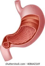 Illustration of Human Internal Stomach Anatomy