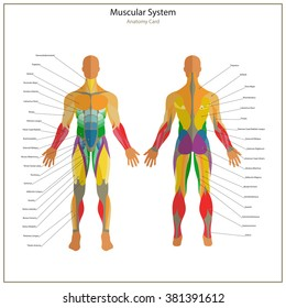 Illustration of human muscles. Exercise and anatomy guide. Front and rear view.