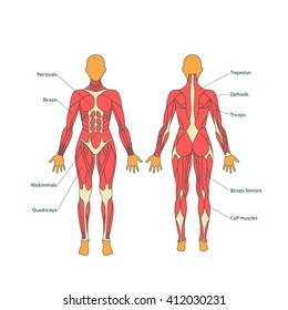 Illustration of human muscles. The female body. Front and rear view.