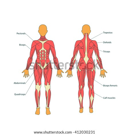 Illustration Human Muscles Female Body Front Stock Vector (Royalty ...