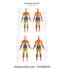 Muscular system images stock photos vectors shutterstock illustration of human muscles female and male body front and rear view ccuart Choice Image