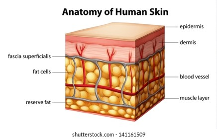 Illustration of human skin anatomy
