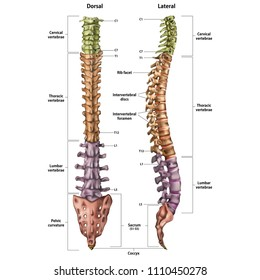 illustration of the human spine with the name and description of all sites   lateral and