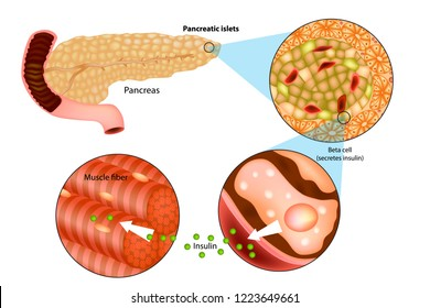 Illustration of insulin production in the pancreas. Metabolic actions of insulin in striated muscle.