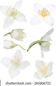 illustration with jasmin flowers isolated on white background