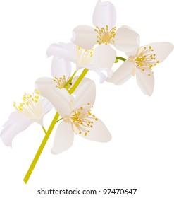 illustration with jasmin flowers on white background