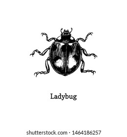 Illustration of Ladybug. Drawn insect in engraving style. Sketch of beetle in vector.