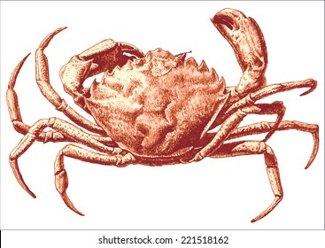 illustration with a large red crab drawn by hand on a light background (Brachyura Linnaeus)