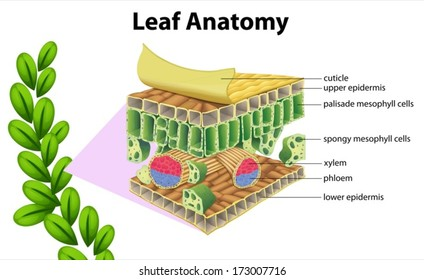 Illustration of a leaf anatomy on a white background