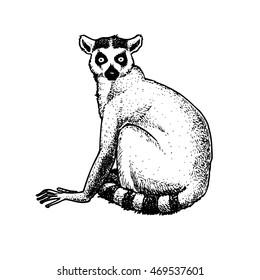 Illustration of lemur from Madagascar