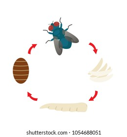 illustration life cycle  housefly vector