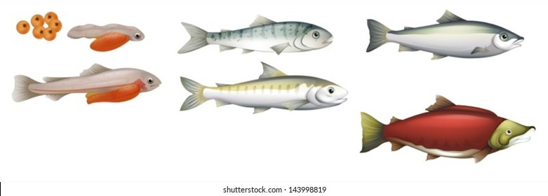 Illustration of the life cycle of salmons