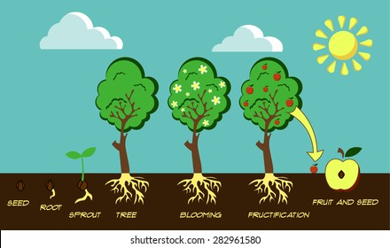 Illustration of the life cycle of tree (from seed to fruit)