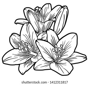 Illustration with lilium candidum. Flowers isolated on white background. Laser cut template. Vector illustration. Black white contour simple of lilium flowers. - Vector