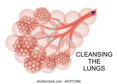 illustration of the lungs a process of purification of mucus intended for expectorants