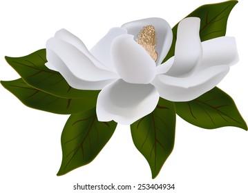 illustration with magnolia flower isolated on white background