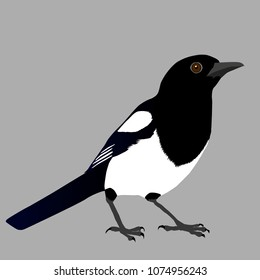 An illustration of a magpie