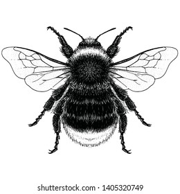 Illustration of a Male Red Tailed Bumble Bee