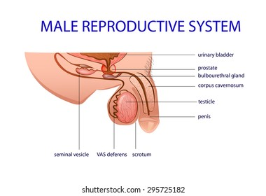 illustration of the male reproductive system. prostate, testicles