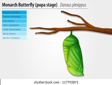 Illustration of the monarch butterfly pupa stage
