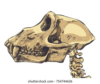 Illustration of a Monkey Skull on background. Vector