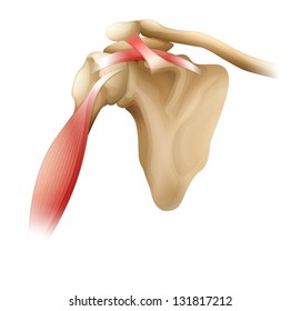 Illustration of muscles around the shoulder