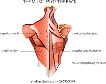 Back muscle images stock photos vectors shutterstock illustration of the muscles of the back anatomy ccuart Image collections