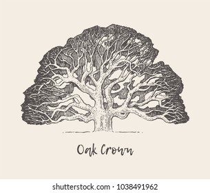 Illustration of an old oak tree, hand drawn, engraved style, vector