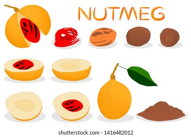 Illustration on theme big set different types spice nutmeg, nuts various size. Nutmeg pattern consisting of collection natural nut spice for organic nutrition. Menu from spice nutmeg is yummy nut.