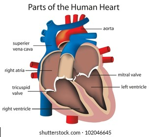 Mitral valve images stock photos vectors shutterstock illustration of parts of the heart ccuart Gallery