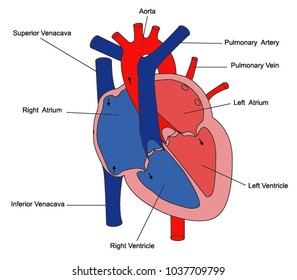 Human heart anatomy images stock photos vectors shutterstock illustration of parts of the heart ccuart Image collections