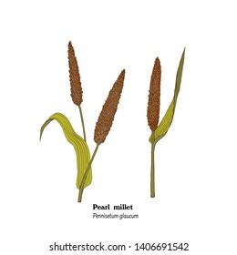 Illustration of pearl millet plant. Pennisetum glaucum.