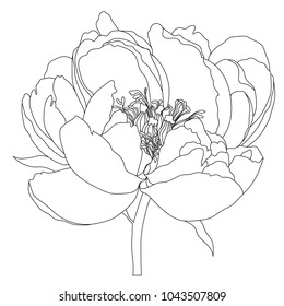 Illustration with peony flower isolated on white background.Vector illustration. Black Silhouette.Peony Realistic Vector illustration.Peony. Hand drawn vector illustration.