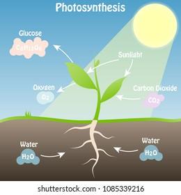 Illustration of the photosynthesis scheme